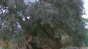 Ελιά και οι μεταλλαγμένοι δάκοι